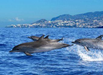 Observacao de Golfinhos - Turismo da Madeira